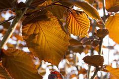 hazel leaves background - stock photo