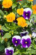 Horn violet Stock Photos