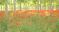 Beautiful field full of red flowers, Tracking shot Stock Footage