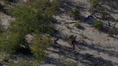 Africa Savanna Wild Dogs Stock Footage