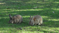 Rabbits eating grass, rabbits footage Stock Footage