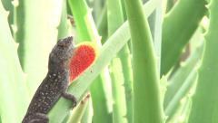 Lizard Throat Fan 2 Stock Footage