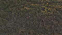 African Trees Savanna Wild Deer Stock Footage