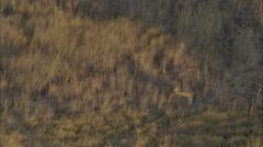 African Savanna Wild Deer Stock Footage