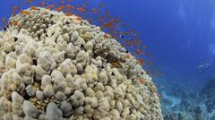 Coral reef, school of vibrant orange anthias - 25fps Stock Footage