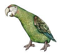 Macaw, Color Illustration - stock illustration