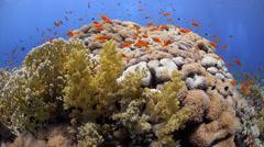 Coral reef, school of vibrant orange anthias - 29.97fps Stock Footage