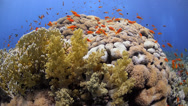 Stock Video Footage of Coral reef, school of vibrant orange anthias - 29.97fps