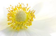 Anemone flower macro Kuvituskuvat