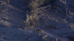 Savanna Wild Dogs Stock Footage