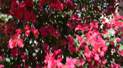 Bush with red flowers, conducting. It is removed in Orlando, USA. SeaWorld park. Stock Footage