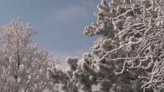 Snow covered evergreen and deciduous tree branches. - stock footage