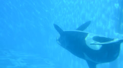Killer whales under water.  Commerson's Dolphin (Cephalorhynchus commersonii). Stock Footage