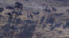Zebra Wildebeest Herd Grazing Savanna Stock Footage