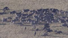 Zebra Herd Grazing Savanna Stock Footage
