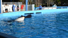 Killer whales in the pool.  Commerson's Dolphin (Cephalorhynchus commersonii). Stock Footage