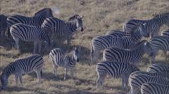 Wildebeest Zebra Herd Grazing Savanna Stock Footage