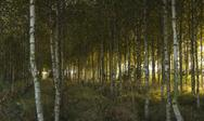 Stock Photo of autumn in birch forest