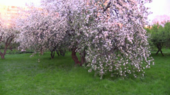 Camera Move in the flower blooming apple tree. Slow Motion. Steady Cam. Stock Footage
