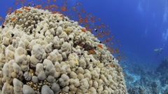 Coral reef, school of vibrant orange anthias - 29.97fps - stock footage