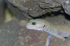Geko - stock photo