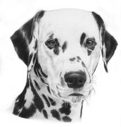 Dalmatian, illustration - stock illustration