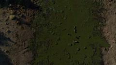 Hippopotamus Savanna Africa Marsh Stock Footage