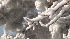 Frosty branch bounces in front of pine tree branches. - stock footage
