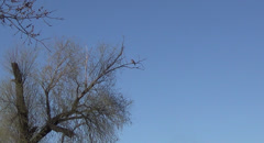 Stock-dove on a branch Stock Footage