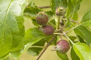 Stock Photo of young apples on tree