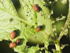 Larvae of potato beetle Stock Photos