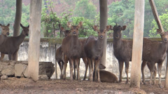 Asian deer/antelope/stag in zoo, Imphal, Manipur Stock Footage