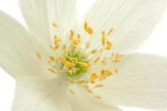 Center of anemone flower 1 Kuvituskuvat