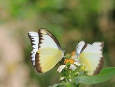 Stock Photo of butterflies, Appias lyncida eleonora