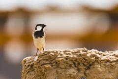 Type of sparrow. Stock Photos