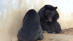 Stock Video Footage of Two black Asian wild bears making a mirror image