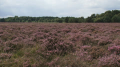 Blooming heathland in summer breeze, Common heather, Calluna vulgaris Stock Footage