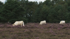 Stock Video Footage of Charolais cattle in blooming heathland