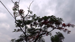 An alone flowered tree in the cloudy sky Stock Footage