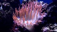 Stock Video Footage of Sea anemone.