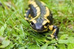 Fire salamander (salamandra salamandra) Stock Photos