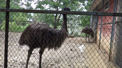 An Emu pair in Imphal zoo, a largest bird native to Australia Stock Footage