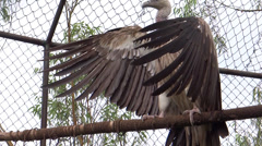 Stock Video Footage of A giant Vulture Flapping its wings-3