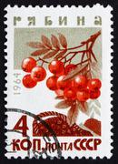 Postage stamp Russia 1964 Mountain Ash, Rowan, Deciduous Tree Stock Photos
