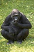 Ape - stock photo