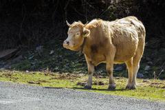 Tame bull Stock Photos