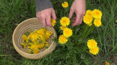 Pick fresh spring dandelion flower  for healthy food Stock Footage