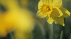 Narcissus  Protecting Other Daffodil from the Wind - 29,97FPS NTSC Stock Footage