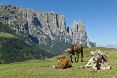 grazing cows, Seiser Alm - stock photo