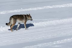 Dog avalanche Stock Photos